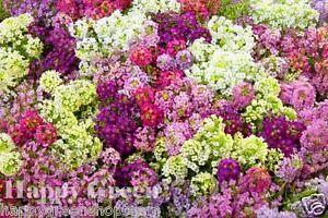 Alyssum-2500-seeds-PALETTA-MIX-Lobularia-Maritima-flower