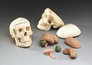 Human-Skull-Miniature-8-Part-Brain-anatomical-medical