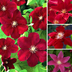 1-X-CLEMATIS-DARK-RED-COLOURED-LARGE-FLOWERING-CLIMBER-HARDY-PLANT-IN-POT