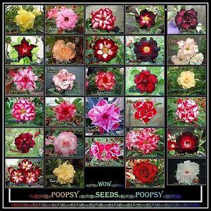 Adenium-Obesum-Desert-Rose-Hybrid-House-Plant-Bonsai-graines-chamanique-T1