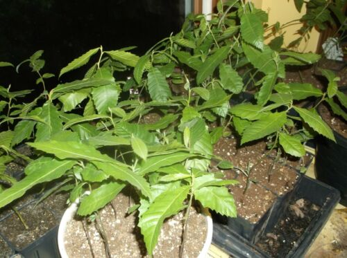 ONE 2019 AMERICAN CHESTNUT SEEDLING 12-16 inches Grown from my own seed 1