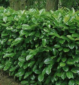10x Cherry Laurel Evergreen Hedge Tree Seeds 10 Seeds Ebay