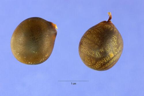 Gymnocladus dioicus 15 KENTUCKY COFFEE TREE SEEDS