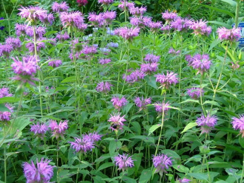 FreeGift 2000 BEE BALM LEMON MINT MONARDA Flower Seeds