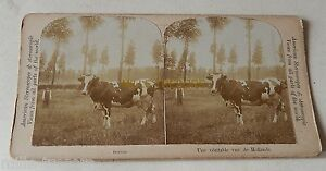 Vue-STEREO-mexicain-circa-1900-Une-veritable-vue-de-HOLLANDE-Vache