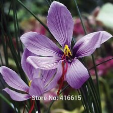 100 Crocus sativus seeds Chinese Medicine Plant Herb Seeds Saffron Crocus Seed