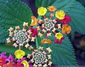 10 seeds lantana camara perennial big wild sage flower seeds shrubby image is loading 10 seeds lantana camara perennial big wild sage mightylinksfo Image collections