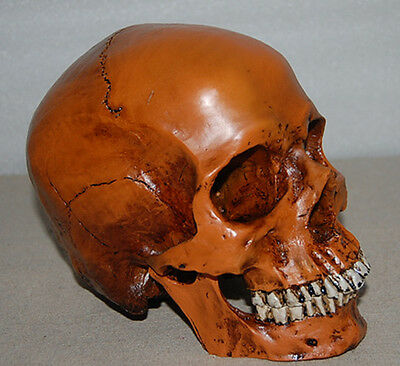 Handmade Resin Replica 1:1 Life Size Human Anatomy Skull Collectable Halloween