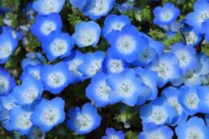 550//2750 Seeds Nemophila Eyes Blue Baby Flower Blue Dark Dwarf