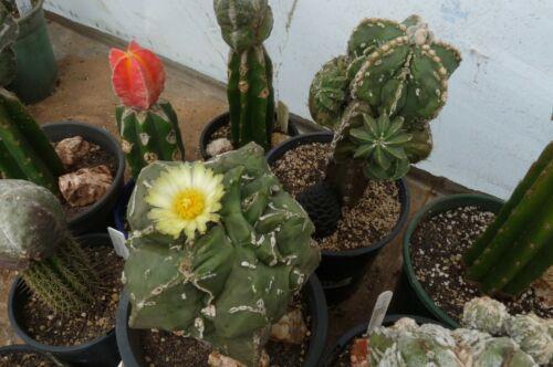 5-25 SEEDS Astrophytum Nudum Double Haku Jo Cactus Korn Graine 種子 씨앗 Семена