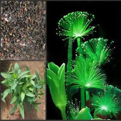Rare 100 Pcs Emerald Fluorescent Flower Seeds Night Light Emitting Plants Garden