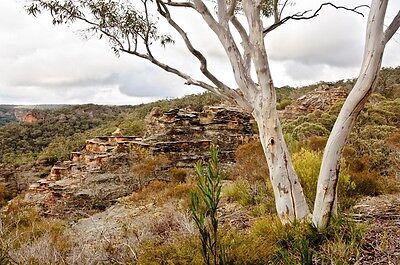 CAPERTEE STRINGYBARK / CANNONS (Eucalyptus Cannonii) NATIVE X 150 Seeds