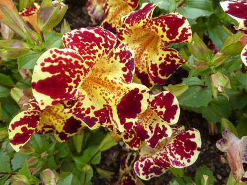 Mimulus hybridus Flower Seeds annuals