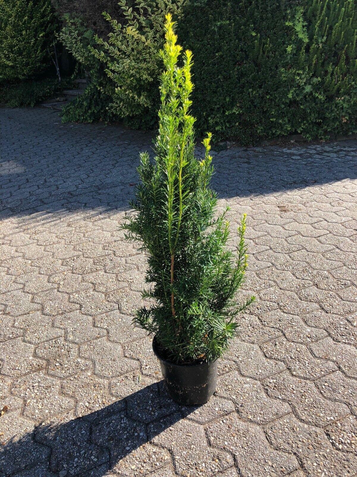 5 x Taxus media 'Hicksii' 60-80 cm 3 Ltr Topf (Kegeleibe) TOP FÜR HECKE