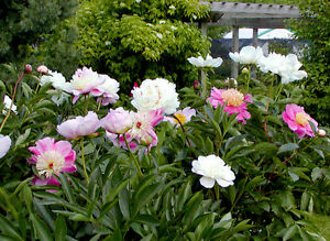 Peony Shrub Mixed Colours 15 Seeds Ebay