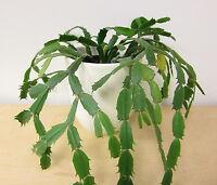 Christmas Cactus Cutting, Thanksgiving Crab Holiday Schlumbergera Truncata Plant