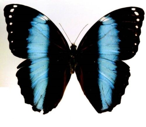 Morpho achilles FOLDED Blue Butterfly Taxidermy REAL Insect Unmounted