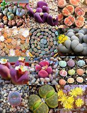 COLOR LITHOPS MIX succulent EXOTIC living stones desert rock seed plant 15 SEEDS