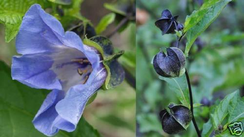 ¤ Alles blau ¤ Blaue Lampionblume  ¤ Lampions /& Blüten