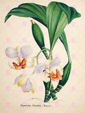PAINTING BOOK PAGE ORCHID AGANISIA TRICOLOR LARGE ART PRINT POSTER LF1416