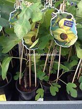 Piante di Fico Variegato - Ficus Carica Panachè