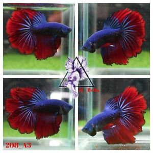 [208_A3]Live Betta Fish High Quality Male Fancy Over Halfmoon 📸Video Included📸