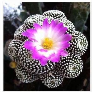 Astrophytum asterias Exotic  cacti seed Japanese Rare Succulent 15 SEEDS Bonsai