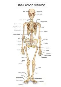 The human skeleton photo picture anatomy skeletal system human a3 a4 image is loading the human skeleton photo picture anatomy skeletal system ccuart Image collections