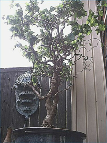 Bonsai Dragon Willow Corscrew Tree Live Indoor Plant Large Thick Trunk Best Gift