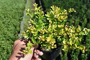 1 Ilex Crenata Golden Gem 15 20cm In 13 Litre Pot Golden Yellow