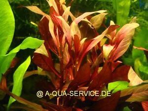 2-Bunde-Rote-Stern-Ludwigie-Ludwigia-glandulosa-f-Aquarium
