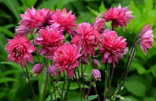 flower Aquilegia Granny/'s Bonnet Columbine Perennial Double-flowered seeds