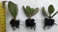 3 x Money Plant Rooted Stem Cuttings , Crassula ovata , Indoor Plants