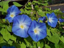 morning glory vine, HEAVENLY BLUE climbing trumpet flower, 18 SEEDS! GroCo