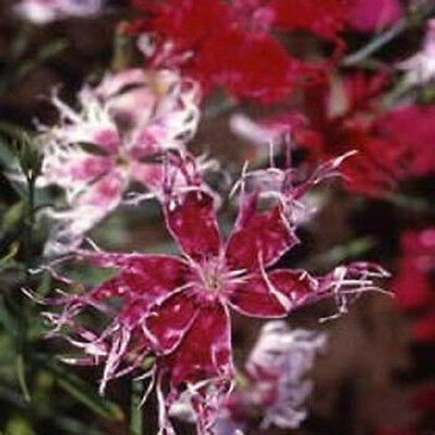 500 Dianthus Seeds Spooky Mix FLOWER SEEDS