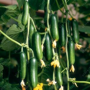 100-pcs-bag-cucumber-NO-GMO-delicious-fruit-and-vegetable-seeds-green-outdoor-pl