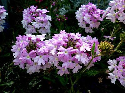 Verbene R O S E Sommer Balkonblüher Bodendecker leicht hängend 30 Samen