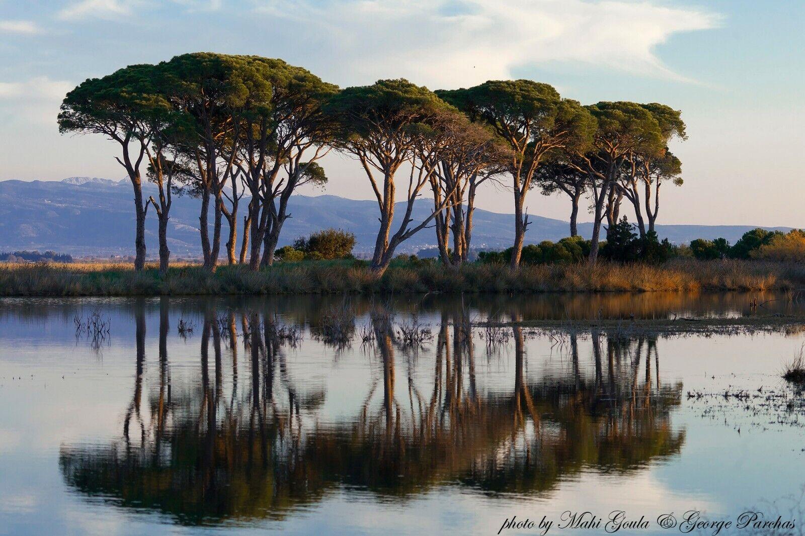 Italian Stone Pine Pinus Pinea Bonsai Or Edible Feature Bulk 25 Seeds For Sale Online Ebay