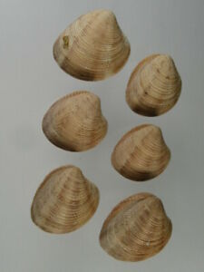 Chamalea-striatula-Endemic-of-Atlantic-from-Spain-Nice-lot-Taked-it-live