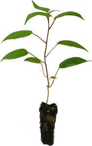 3-x-Mini-Kiwi-Pflanzen-BAYERNKIWI-KENS-RED-Actinidia-arguta-Kiwai-Minikiwi-SET