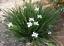 Free Shipping Wild Iris   Fairy Iris   Dietes grandiflora   20 Seeds