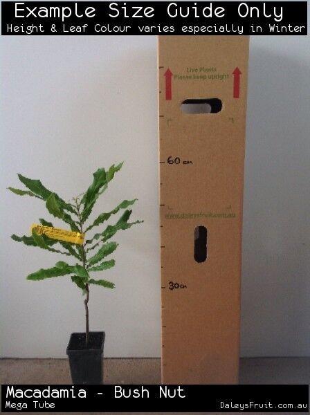 Macadamia Bush Nut (Macadamia tetraphylla) Fruit Tree Plant