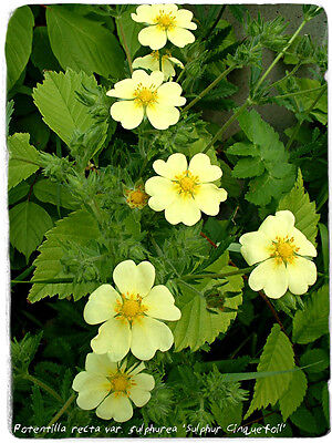 POTENTILLA RECTA SULPHUREA HARDY PERENNIAL PLANT APPROX.100 SEEDS PER PACK