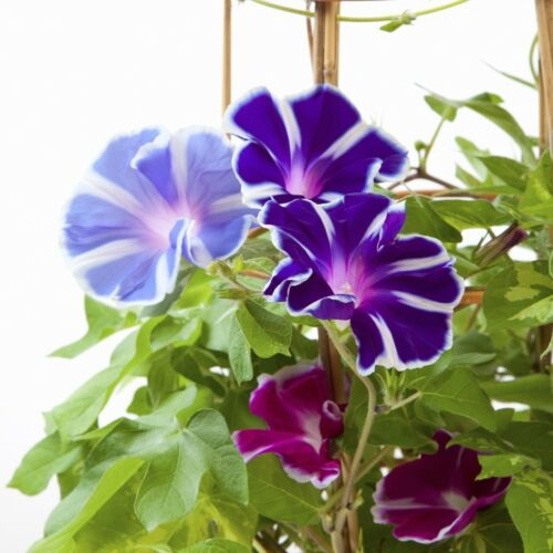 Morning Glory /'Two-Tone mix/' 56 seeds Ipomoea tricolor