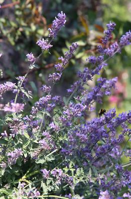 nepeta cataria herbe à chat ☺2000 graines de cataire
