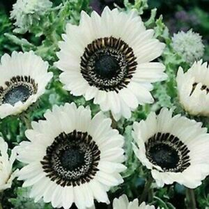 High Quality 25 Snow White Sunflower Seeds Flowers