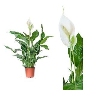 Alocasia-Calidora-Alokasie-Plantas-habitacion-Altura-65cm-Tamano-de-maceta-19cm