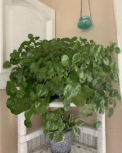 Swedish IVY// Creeping Charlie Plectranthus LIVE PLANT