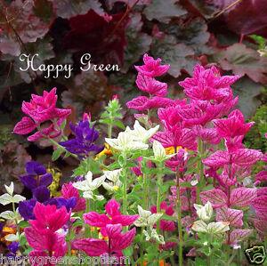 Clary-Salvia-200-semillas-Salvia-horminum