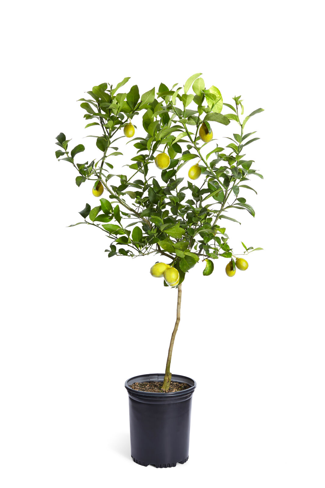 Improved Meyer Lemon Tree Indoor Citrus Tree Cannot Ship To Az